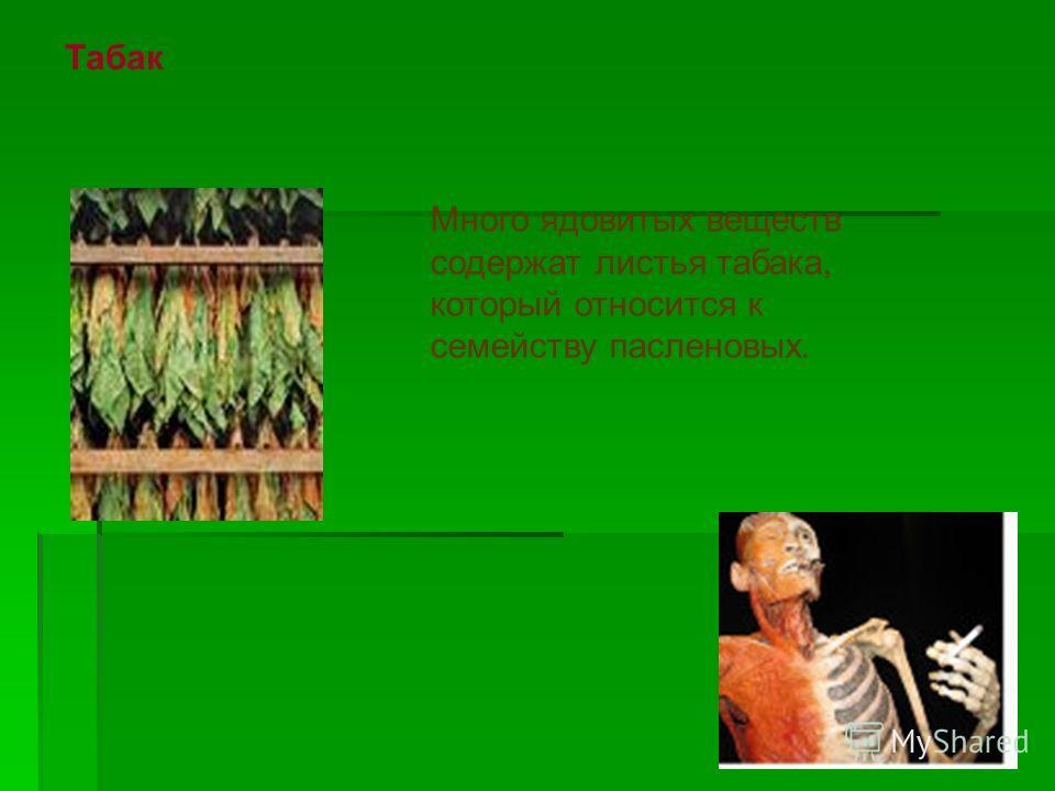 Табак Много ядовитых веществ содержат листья табака, который относится к семейству пасленовых.
