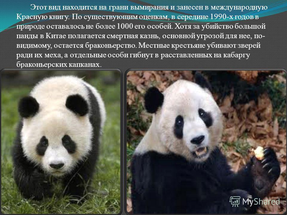 Этот вид находится на грани вымирания и занесен в международную Красную книгу. По существующим оценкам, в середине 1990-х годов в природе оставалось не более 1000 его особей. Хотя за убийство большой панды в Китае полагается смертная казнь, основной