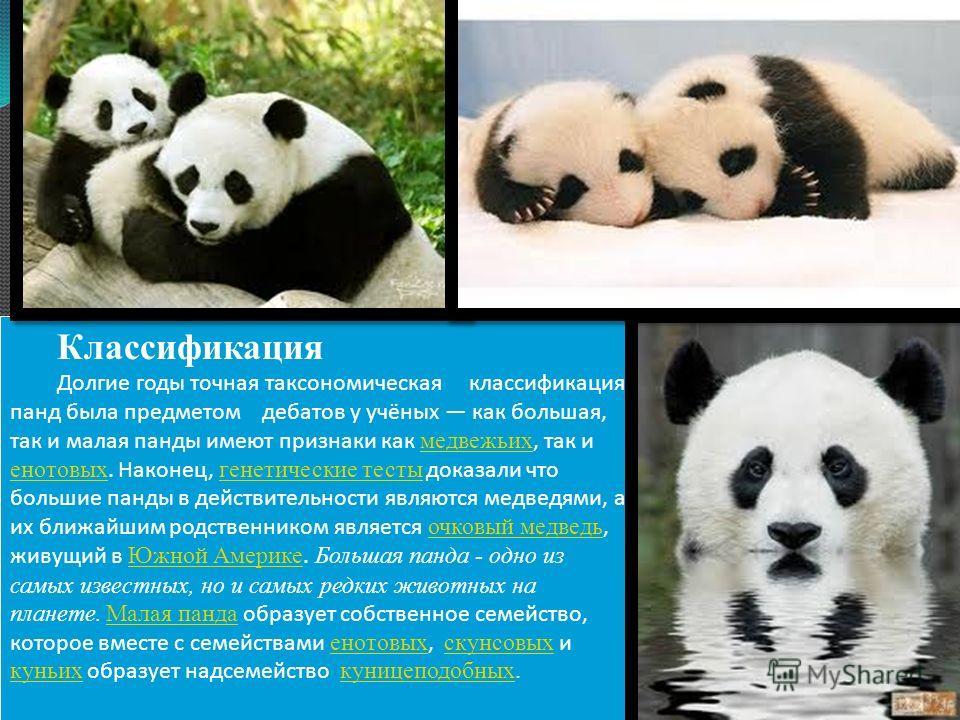 Классификация Долгие годы точная таксономическая классификация панд была предметом дебатов у учёных как большая, так и малая панды имеют признаки как медвежьих, так и енотовых. Наконец, генетические тесты доказали что большие панды в действительности