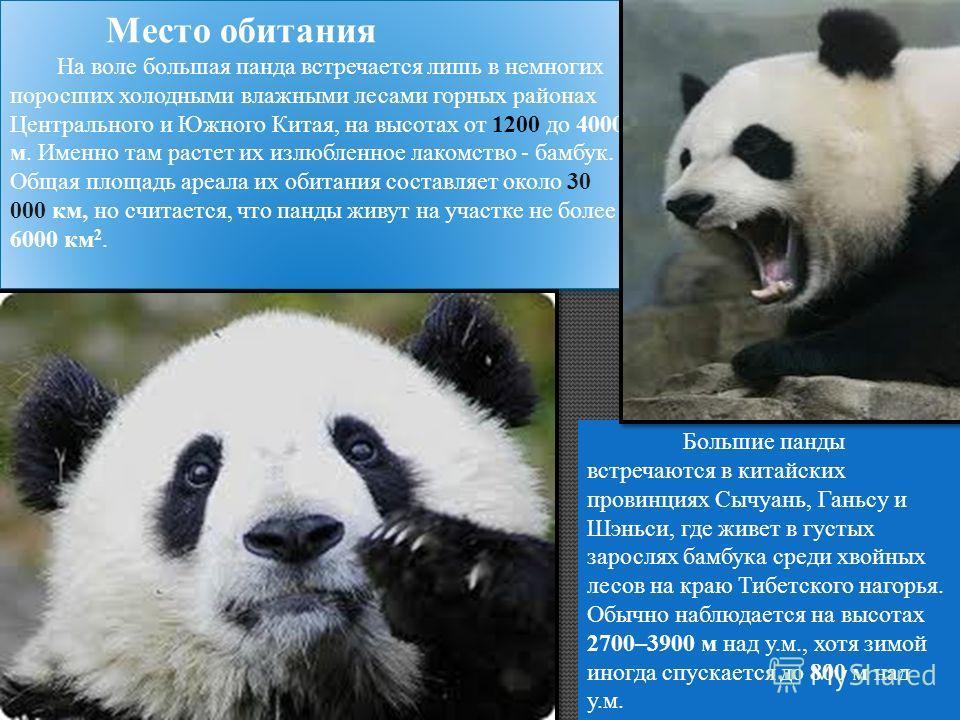 Место обитания На воле большая панда встречается лишь в немногих поросших холодными влажными лесами горных районах Центрального и Южного Китая, на высотах от 1200 до 4000 м. Именно там растет их излюбленное лакомство - бамбук. Общая площадь ареала их