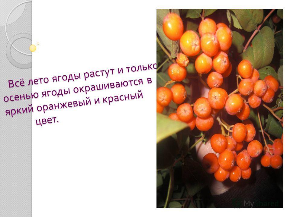 Когда рябина отцветёт, начинают появляться ягоды. Сначала они маленькие, имеют зелёный цвет и шаровидную форму. Когда рябина отцветёт, начинают появляться ягоды. Сначала они маленькие, имеют зелёный цвет и шаровидную форму.