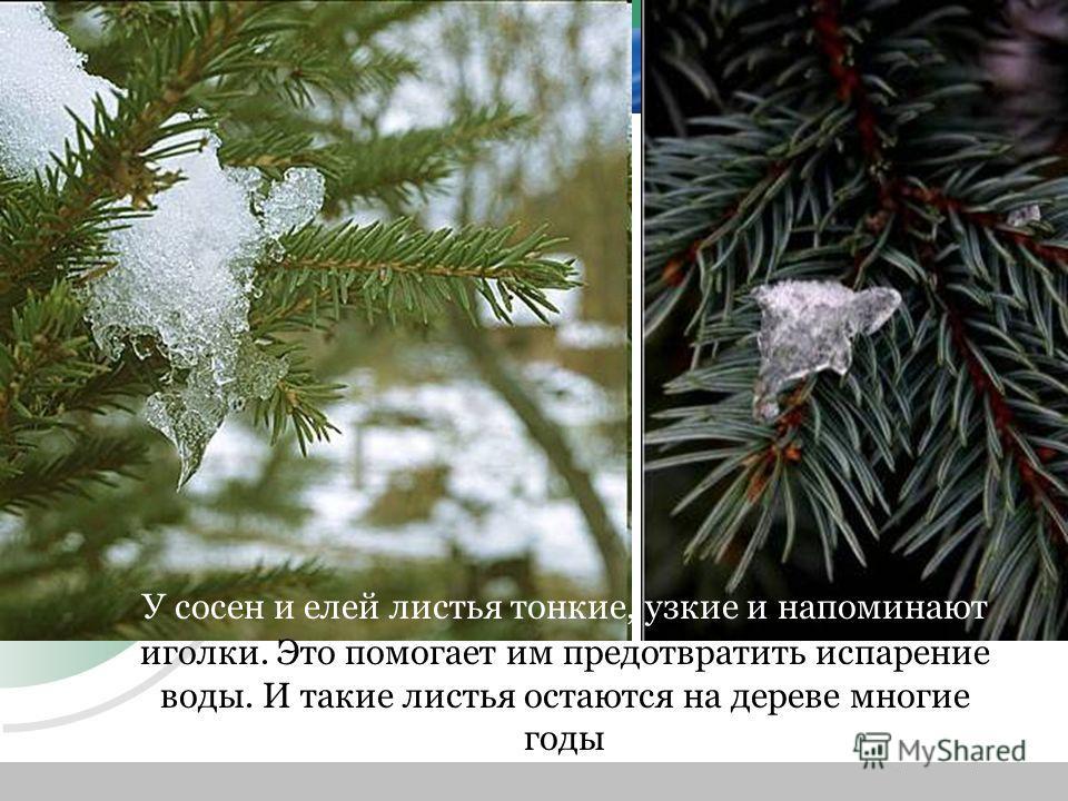У сосен и елей листья тонкие, узкие и напоминают иголки. Это помогает им предотвратить испарение воды. И такие листья остаются на дереве многие годы