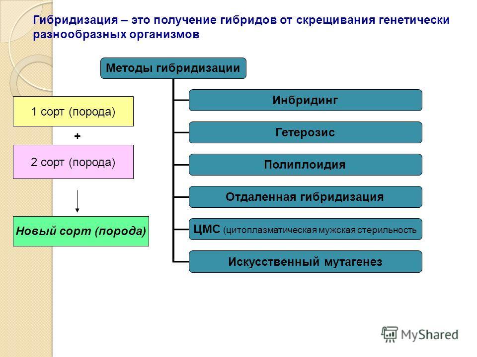 Методы гибридизации Инбридинг Гетерозис Полиплоидия Отдаленная гибридизация ЦМС (цитоплазматическая мужская стерильность Искусственный мутагенез Гибридизация – это получение гибридов от скрещивания генетически разнообразных организмов 1 сорт (порода)