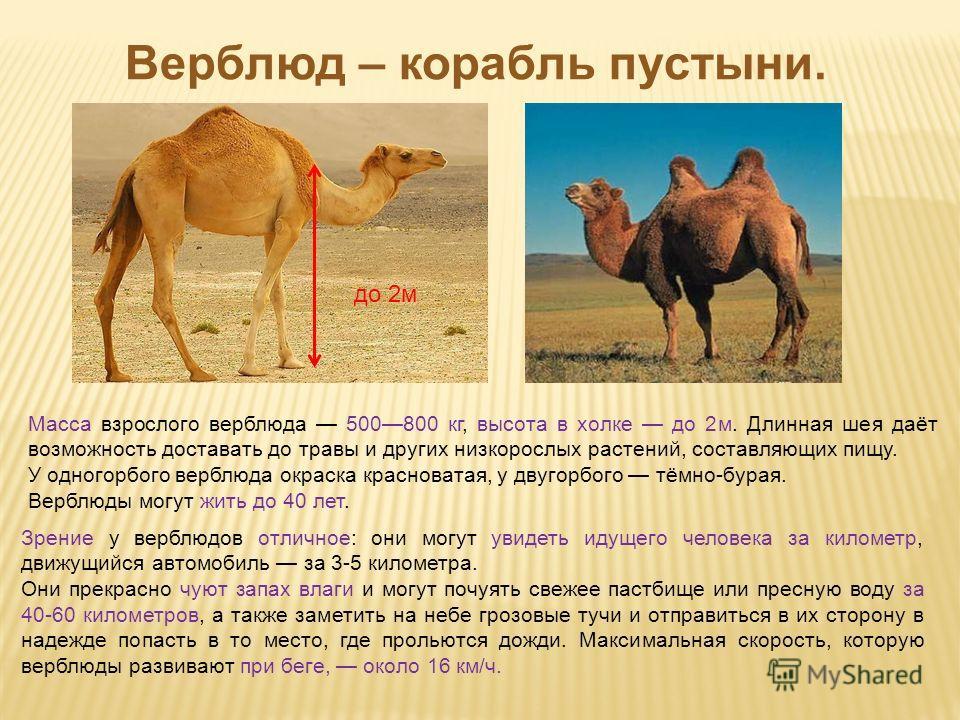 Презентацию на тему верблюд