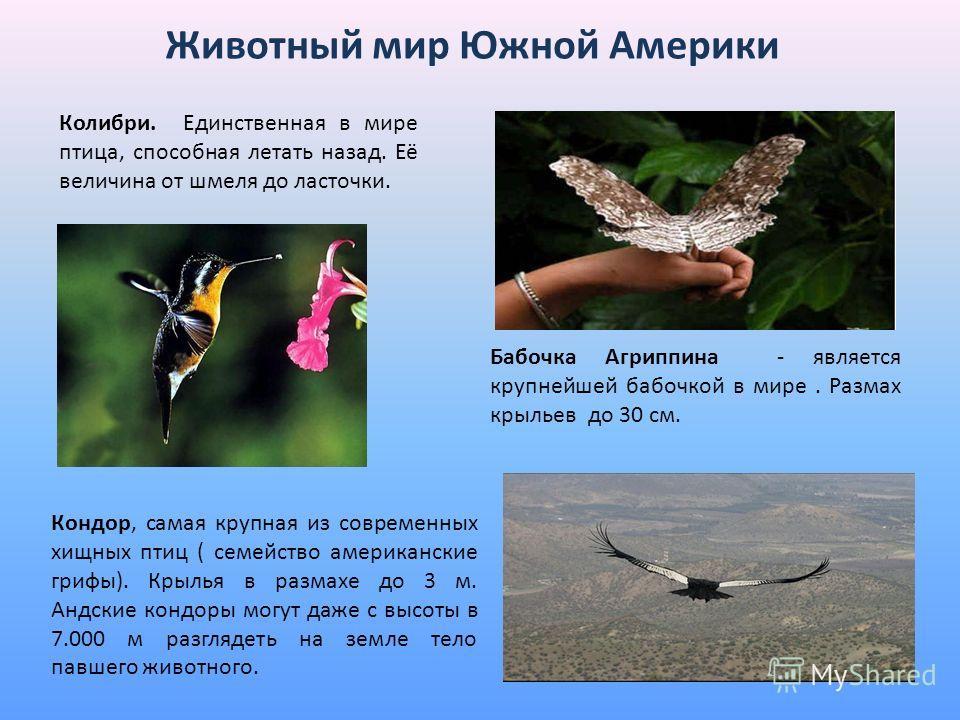 Животный мир Южной Америки Колибри. Единственная в мире птица, способная летать назад. Её величина от шмеля до ласточки. Бабочка Агриппина - является крупнейшей бабочкой в мире. Размах крыльев до 30 см. Кондор, самая крупная из современных хищных пти