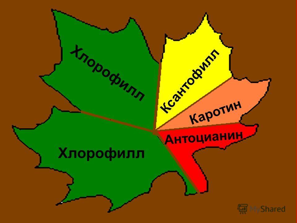 Хлорофилл Ксантофилл Каротин Антоцианин