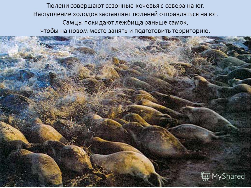 Тюлени совершают сезонные кочевья с севера на юг. Наступление холодов заставляет тюленей отправляться на юг. Самцы покидают лежбища раньше самок, чтобы на новом месте занять и подготовить территорию.