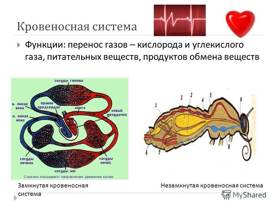 Кровеносная система Функции : перенос газов – кислорода и углекислого газа, питательных веществ, продуктов обмена веществ Замкнутая кровеносная система Незамкнутая кровеносная система