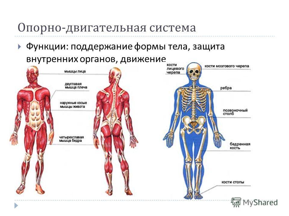 Опорно - двигательная система Функции : поддержание формы тела, защита внутренних органов, движение