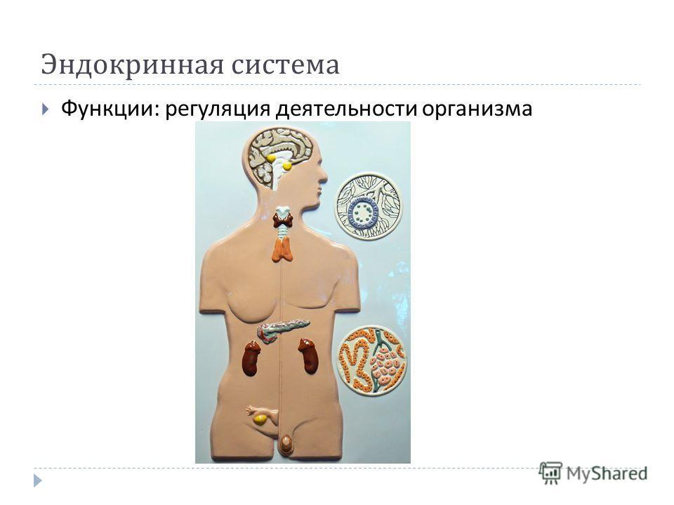 Эндокринная система Функции : регуляция деятельности организма