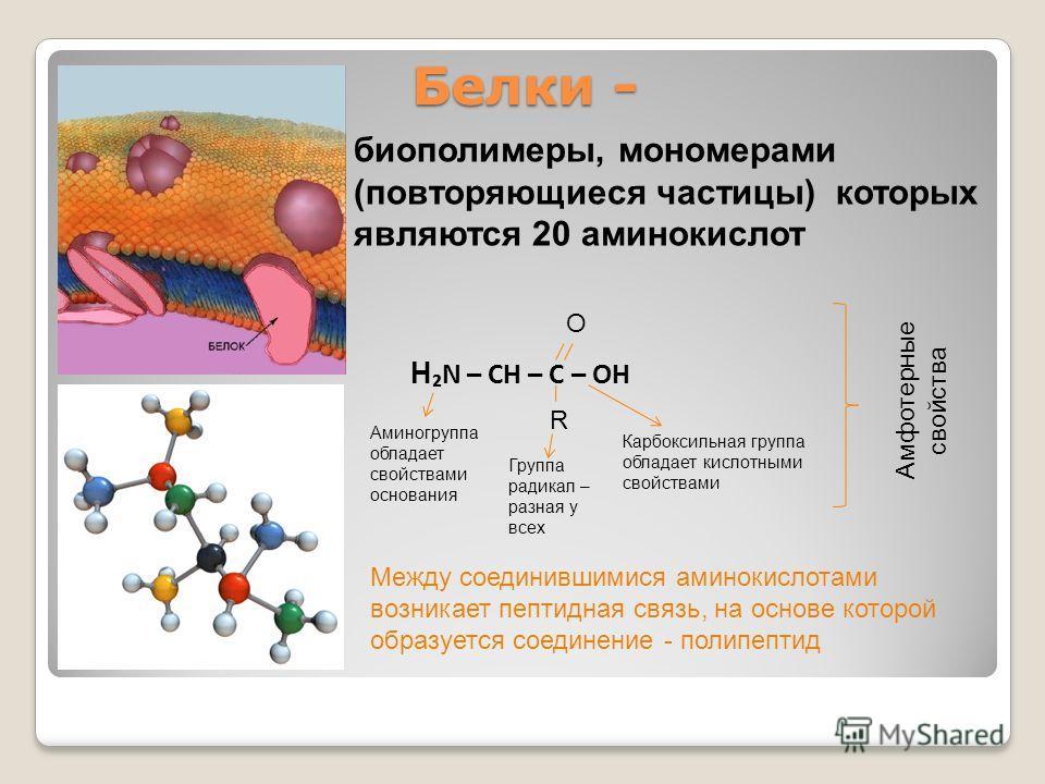 Белки - биополимеры, мономерами (повторяющиеся частицы) которых являются 20 аминокислот H N – CH – C – OH R O Аминогруппа обладает свойствами основания Группа радикал – разная у всех Карбоксильная группа обладает кислотными свойствами Амфотерные свой