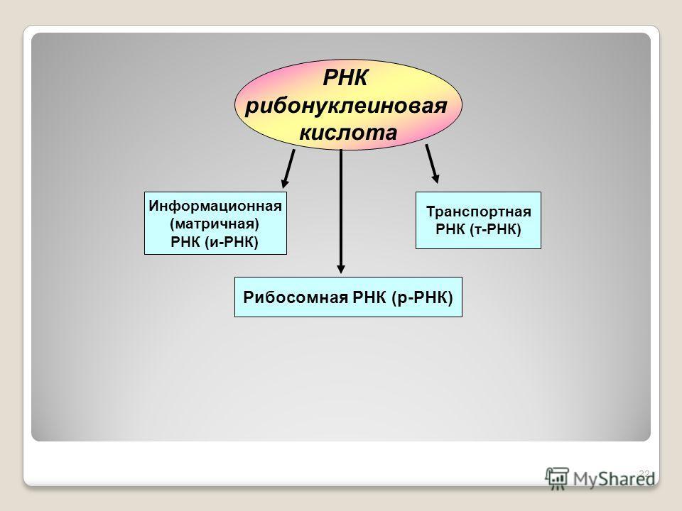 22 РНК рибонуклеиновая кислота Информационная (матричная) РНК (и-РНК) Транспортная РНК (т-РНК) Рибосомная РНК (р-РНК)