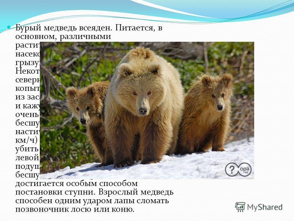 Бурый медведь всеяден. Питается, в основном, различными растительными кормами, личинками насекомых, муравьями, при случае - грызунами и их запасами, падалью. Некоторые звери, чаще самцы из северной части ареала, охотятся на копытных, скрадывая их или