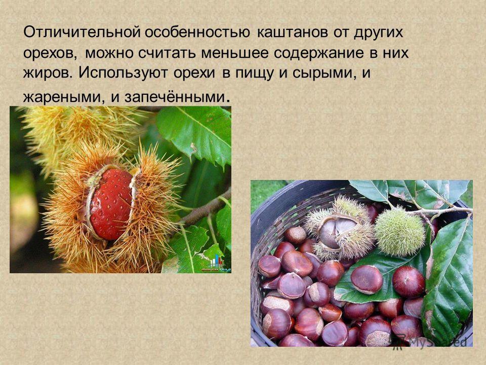 Отличительной особенностью каштанов от других орехов, можно считать меньшее содержание в них жиров. Используют орехи в пищу и сырыми, и жареными, и запечёнными.