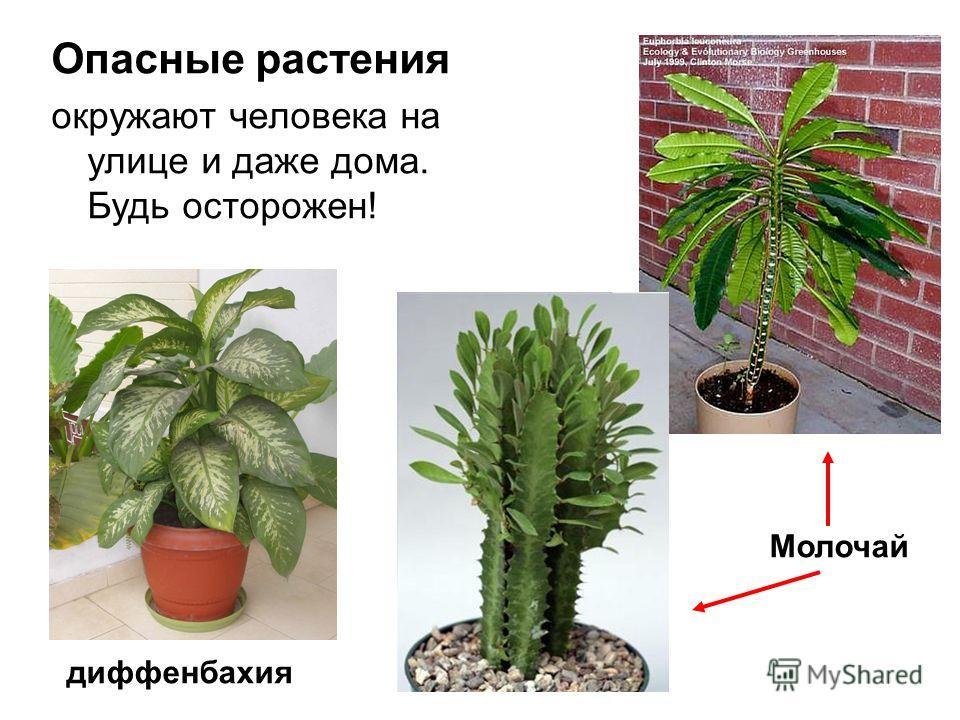 Опасные растения окружают человека на улице и даже дома. Будь осторожен! Молочай диффенбахия