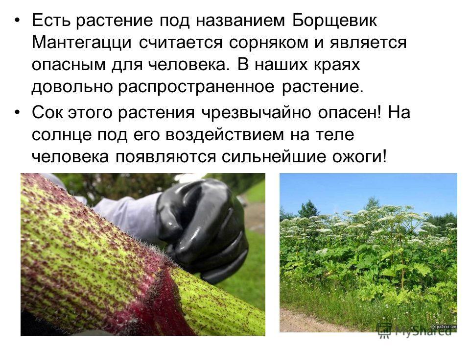 Есть растение под названием Борщевик Мантегацци считается сорняком и является опасным для человека. В наших краях довольно распространенное растение. Сок этого растения чрезвычайно опасен! На солнце под его воздействием на теле человека появляются си