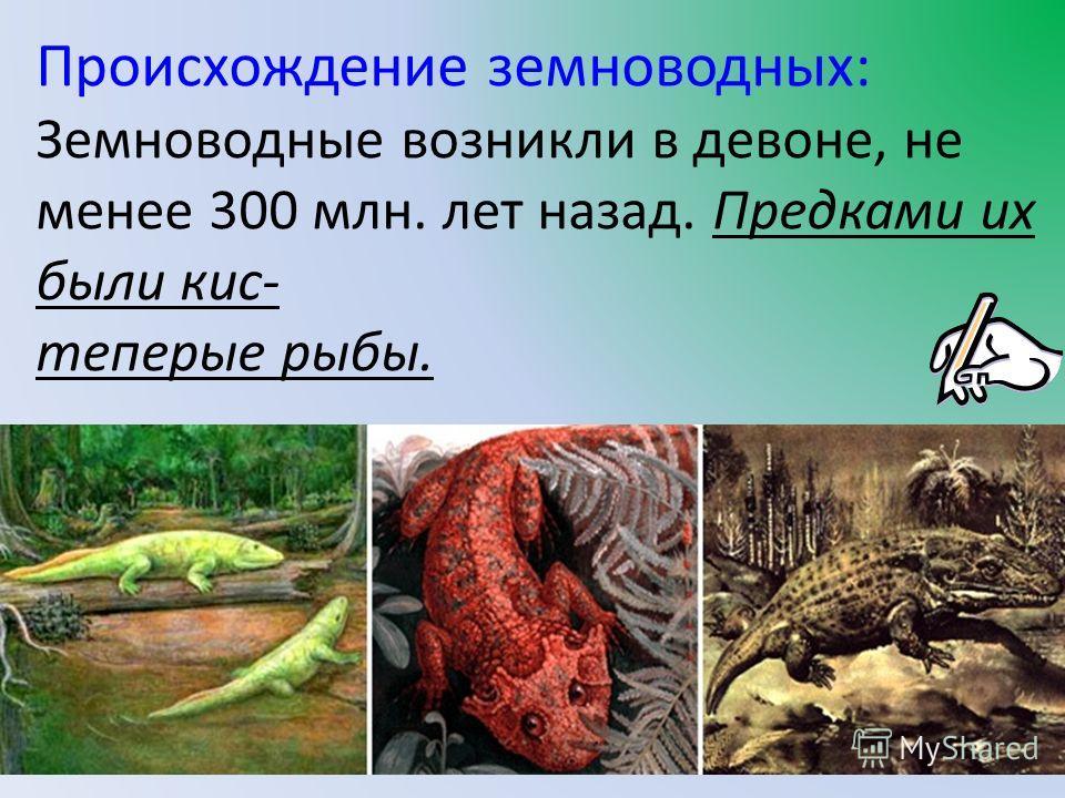 Происхождение земноводных: Земноводные возникли в девоне, не менее 300 млн. лет назад. Предками их были кис- теперые рыбы.