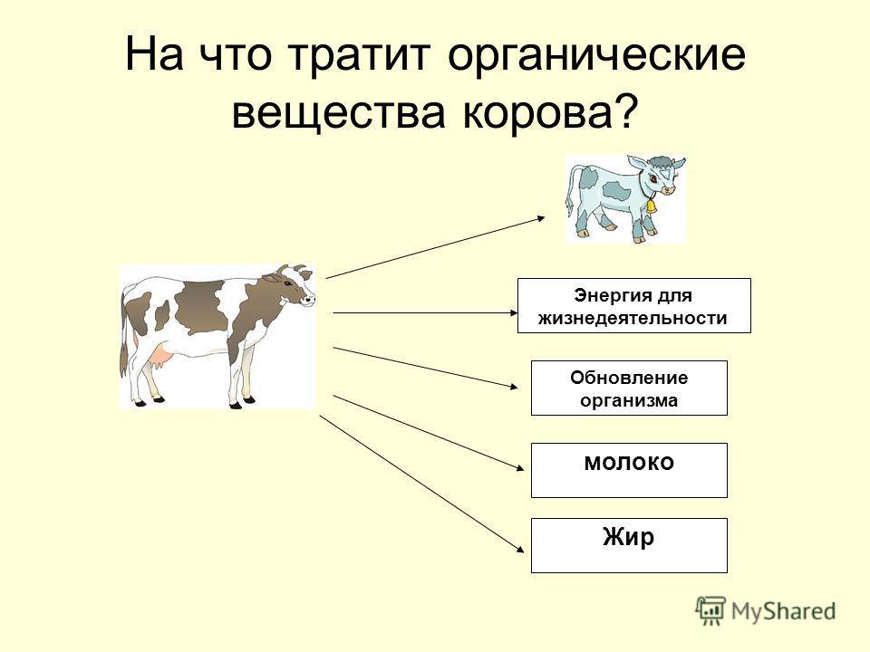 На что тратит органические вещества корова? Энергия для жизнедеятельности Обновление организма молоко Жир