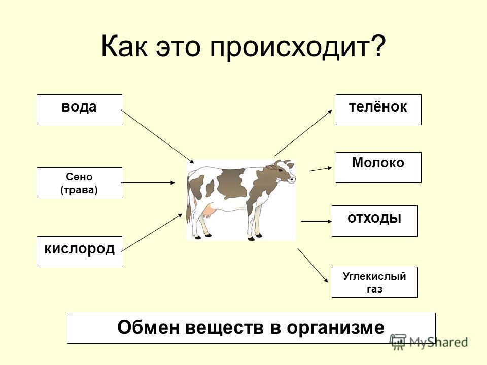 Как это происходит? вода Сено (трава) кислород телёнок Молоко отходы Углекислый газ Обмен веществ в организме
