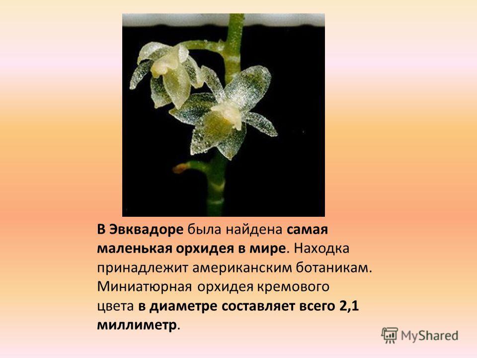 В Эвквадоре была найдена самая маленькая орхидея в мире. Находка принадлежит американским ботаникам. Миниатюрная орхидея кремового цвета в диаметре составляет всего 2,1 миллиметр.