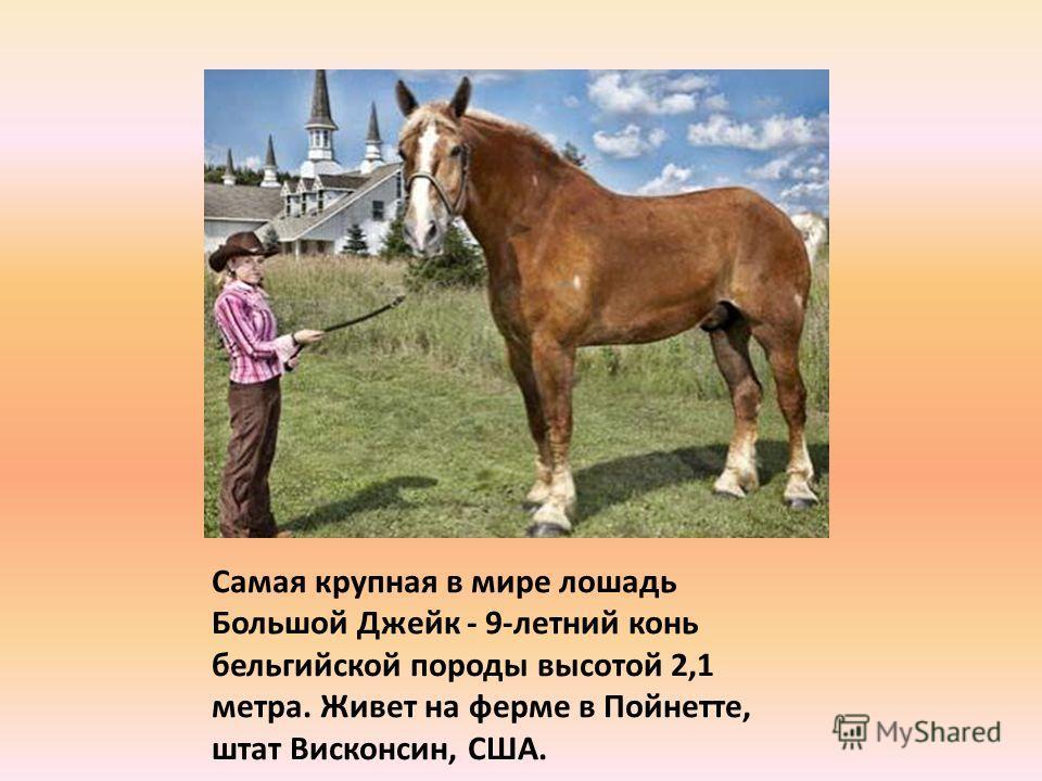 Самая крупная в мире лошадь Большой Джейк - 9-летний конь бельгийской породы высотой 2,1 метра. Живет на ферме в Пойнетте, штат Висконсин, США.