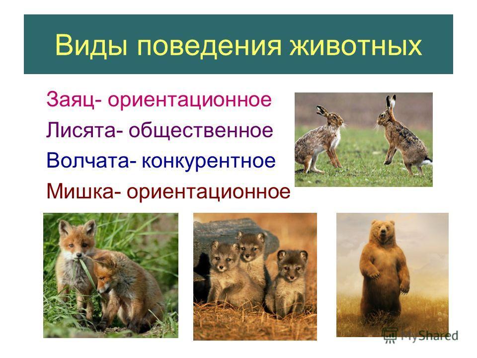 Виды поведения животных Заяц- ориентационное Лисята- общественное Волчата- конкурентное Мишка- ориентационное