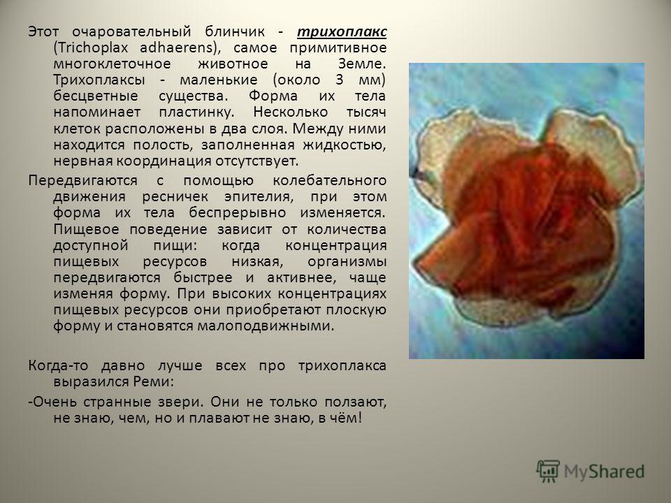 Этот очаровательный блинчик - трихоплакс (Trichoplax adhaerens), самое примитивное многоклеточное животное на Земле. Трихоплаксы - маленькие (около 3 мм) бесцветные существа. Форма их тела напоминает пластинку. Несколько тысяч клеток расположены в дв