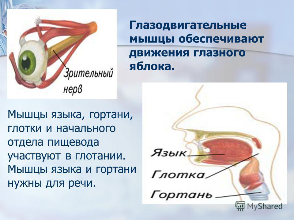 Глазодвигательные мышцы обеспечивают движения глазного яблока. Мышцы языка, гортани, глотки и начального отдела пищевода участвуют в глотании. Мышцы языка и гортани нужны для речи.
