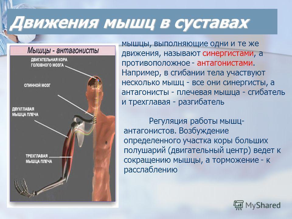Движения мышц в суставах Регуляция работы мышц- антагонистов. Возбуждение определенного участка коры больших полушарий (двигательный центр) ведет к сокращению мышцы, а торможение - к расслаблению мышцы, выполняющие одни и те же движения, называют син