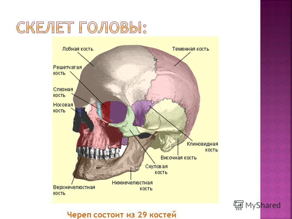 Череп состоит из 29 костей