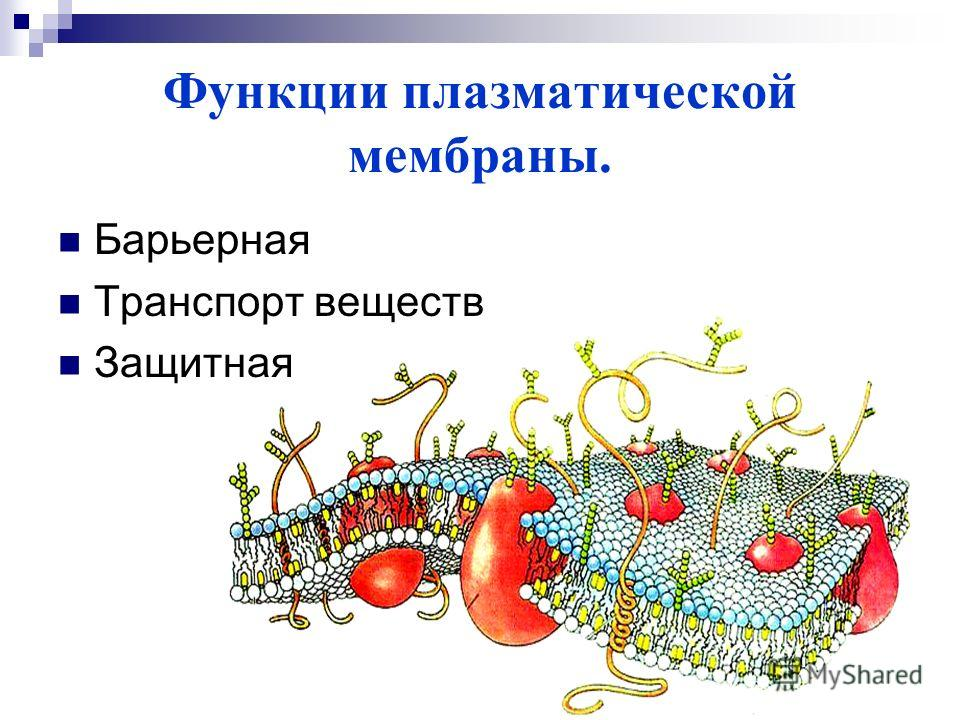 Функции плазматической мембраны. Барьерная Транспорт веществ Защитная