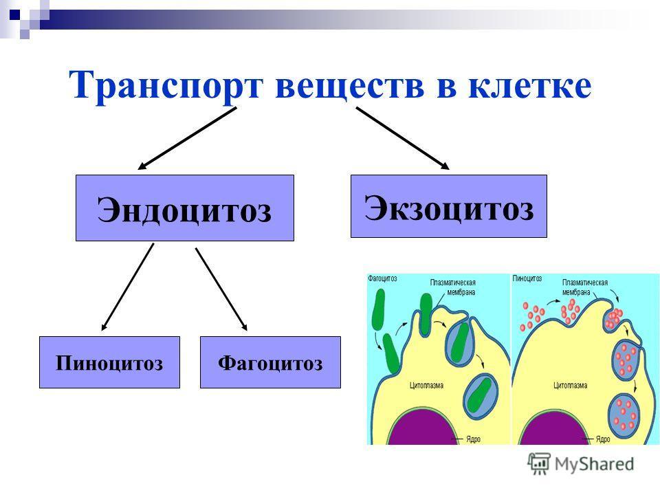 Транспорт веществ в клетке Эндоцитоз Экзоцитоз ПиноцитозФагоцитоз