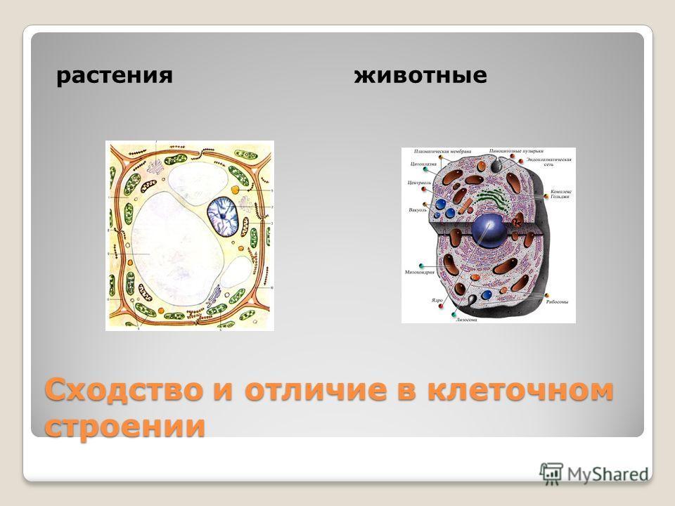 Сходство и отличие в клеточном строении растенияживотные