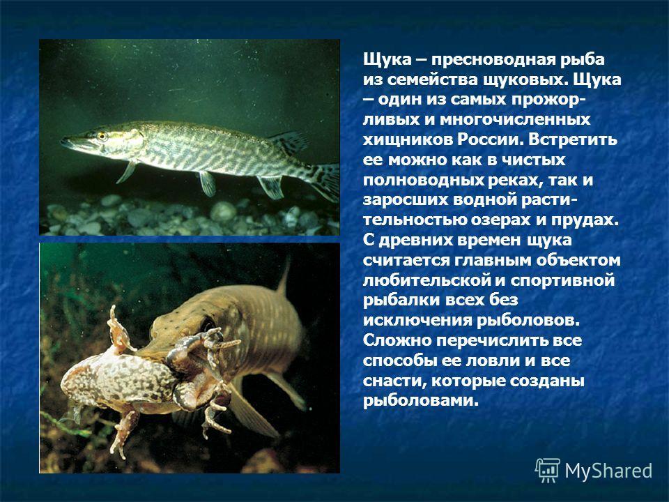 Щука – пресноводная рыба из семейства щуковых. Щука – один из самых прожор- ливых и многочисленных хищников России. Встретить ее можно как в чистых полноводных реках, так и заросших водной расти- тельностью озерах и прудах. С древних времен щука счит