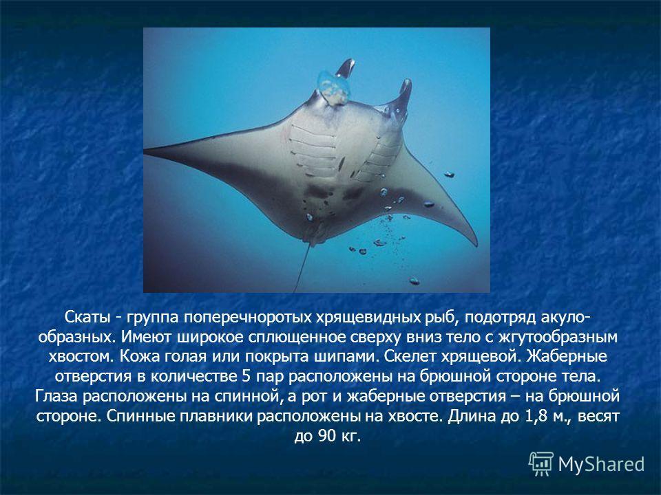 Скаты - группа поперечноротых хрящевидных рыб, подотряд акуло- образных. Имеют широкое сплющенное сверху вниз тело с жгутообразным хвостом. Кожа голая или покрыта шипами. Скелет хрящевой. Жаберные отверстия в количестве 5 пар расположены на брюшной с