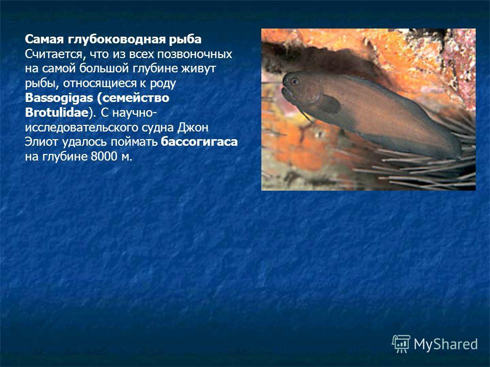 Самая глубоководная рыба Считается, что из всех позвоночных на самой большой глубине живут рыбы, относящиеся к роду Bassogigas (семейство Brotulidae). С научно- исследовательского судна Джон Элиот удалось поймать бассогигаса на глубине 8000 м.