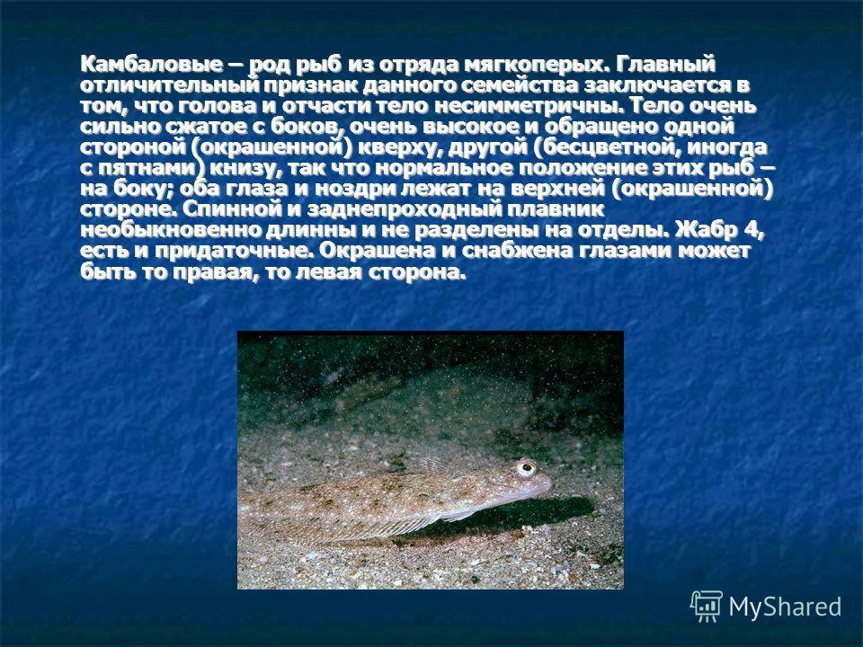 Камбаловые – род рыб из отряда мягкоперых. Главный отличительный признак данного семейства заключается в том, что голова и отчасти тело несимметричны. Тело очень сильно сжатое с боков, очень высокое и обращено одной стороной (окрашенной) кверху, друг