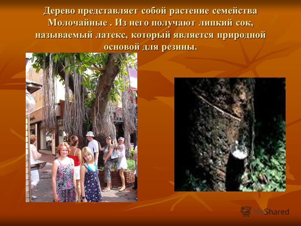 Дерево представляет собой растение семейства Молочайные. Из него получают липкий сок, называемый латекс, который является природной основой для резины.