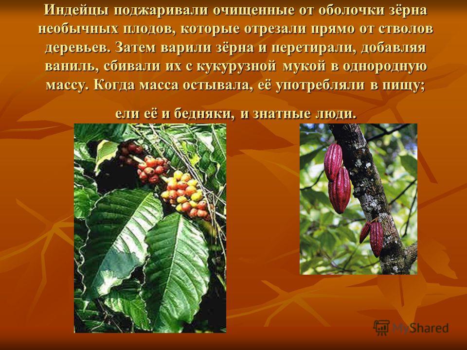 Индейцы поджаривали очищенные от оболочки зёрна необычных плодов, которые отрезали прямо от стволов деревьев. Затем варили зёрна и перетирали, добавляя ваниль, сбивали их с кукурузной мукой в однородную массу. Когда масса остывала, её употребляли в п