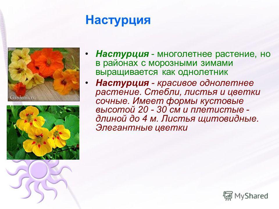 Настурция Настурция - многолетнее растение, но в районах с морозными зимами выращивается как однолетник Настурция - красивое однолетнее растение. Стебли, листья и цветки сочные. Имеет формы кустовые высотой 20 - 30 см и плетистые - длиной до 4 м. Лис