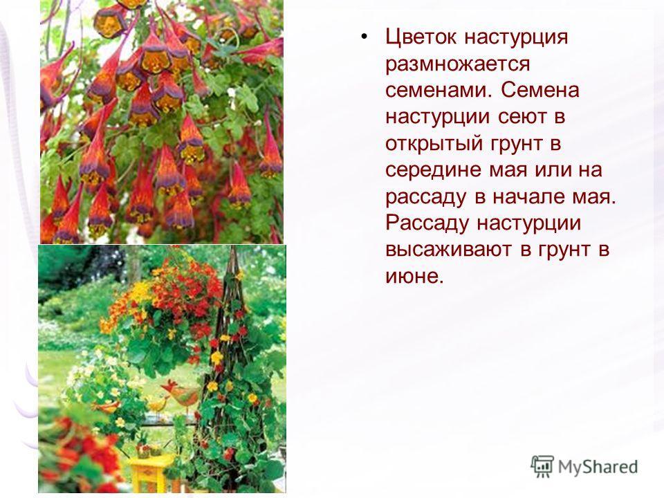 Цветок настурция размножается семенами. Семена настурции сеют в открытый грунт в середине мая или на рассаду в начале мая. Рассаду настурции высаживают в грунт в июне.