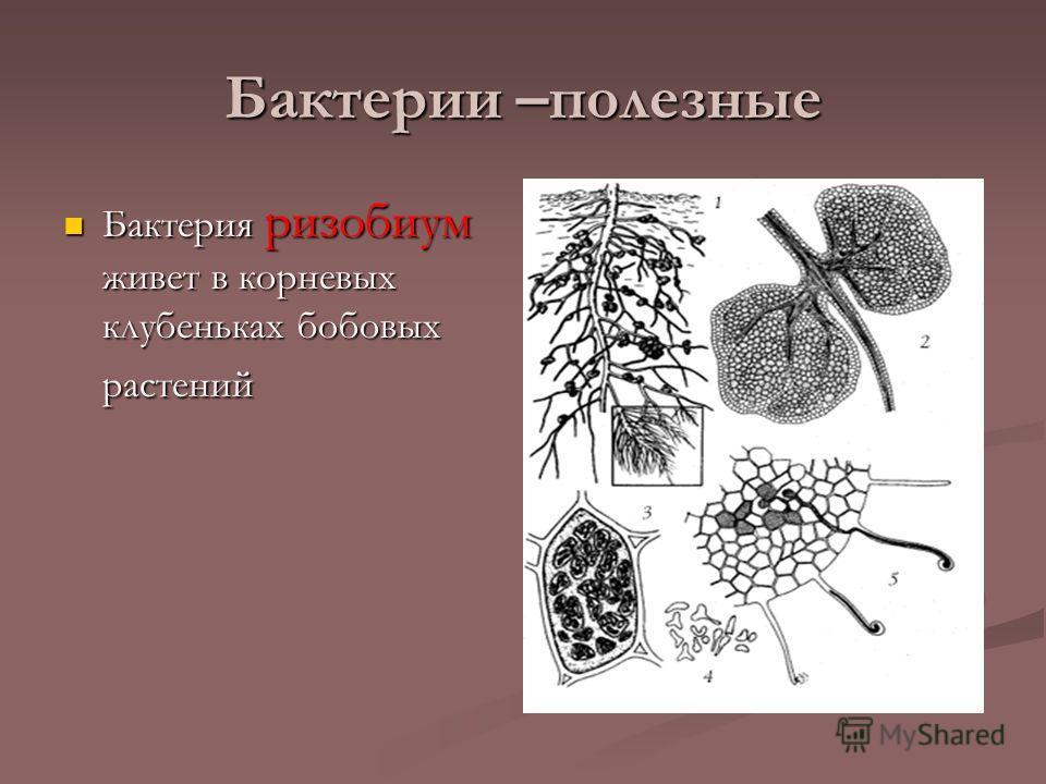 Бактерии –полезные Бактерия ризобиум живет в корневых клубеньках бобовых растений Бактерия ризобиум живет в корневых клубеньках бобовых растений