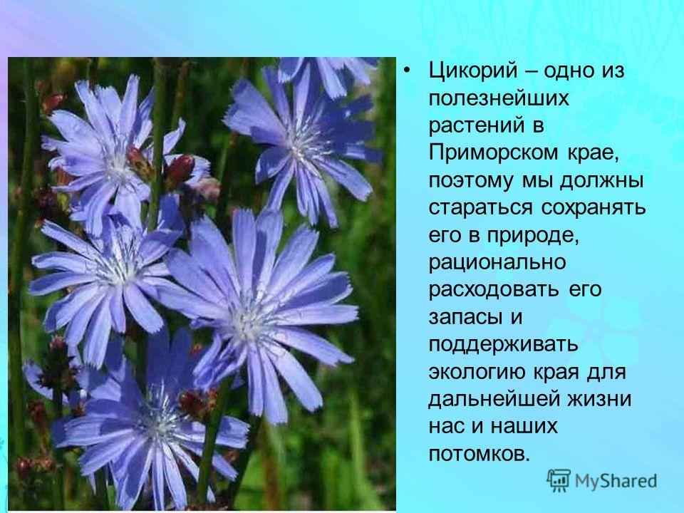 Цикорий – одно из полезнейших растений в Приморском крае, поэтому мы должны стараться сохранять его в природе, рационально расходовать его запасы и поддерживать экологию края для дальнейшей жизни нас и наших потомков.