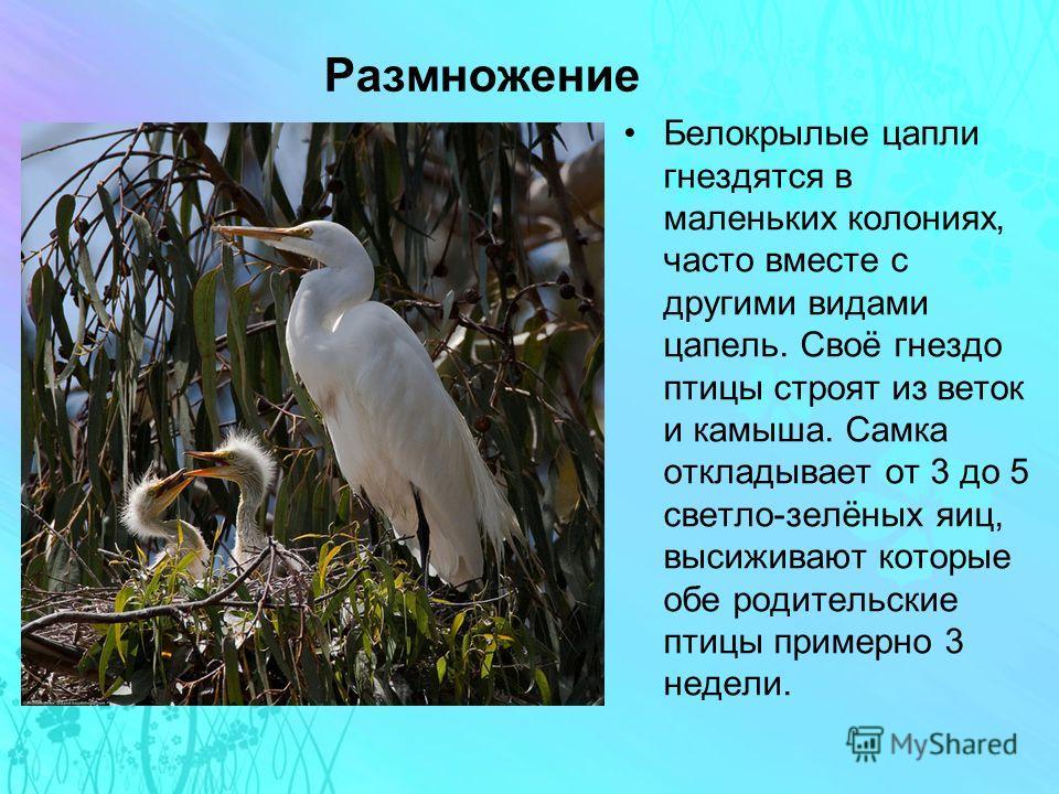 Размножение Белокрылые цапли гнездятся в маленьких колониях, часто вместе с другими видами цапель. Своё гнездо птицы строят из веток и камыша. Самка откладывает от 3 до 5 светло-зелёных яиц, высиживают которые обе родительские птицы примерно 3 недели