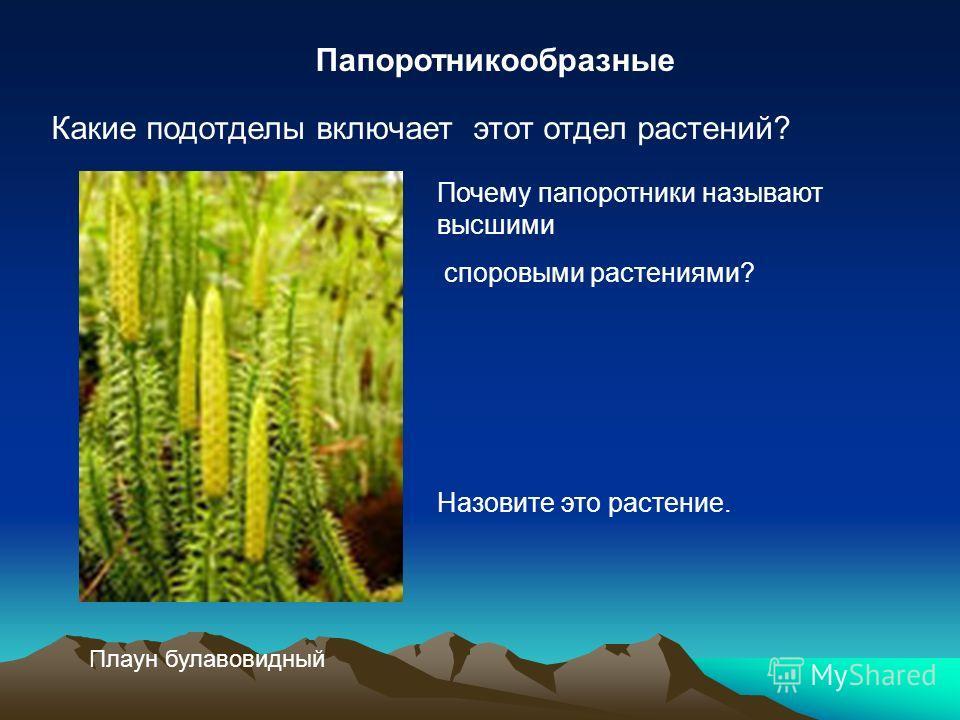 Папоротникообразные Какие подотделы включает этот отдел растений? Почему папоротники называют высшими споровыми растениями? Назовите это растение. Плаун булавовидный
