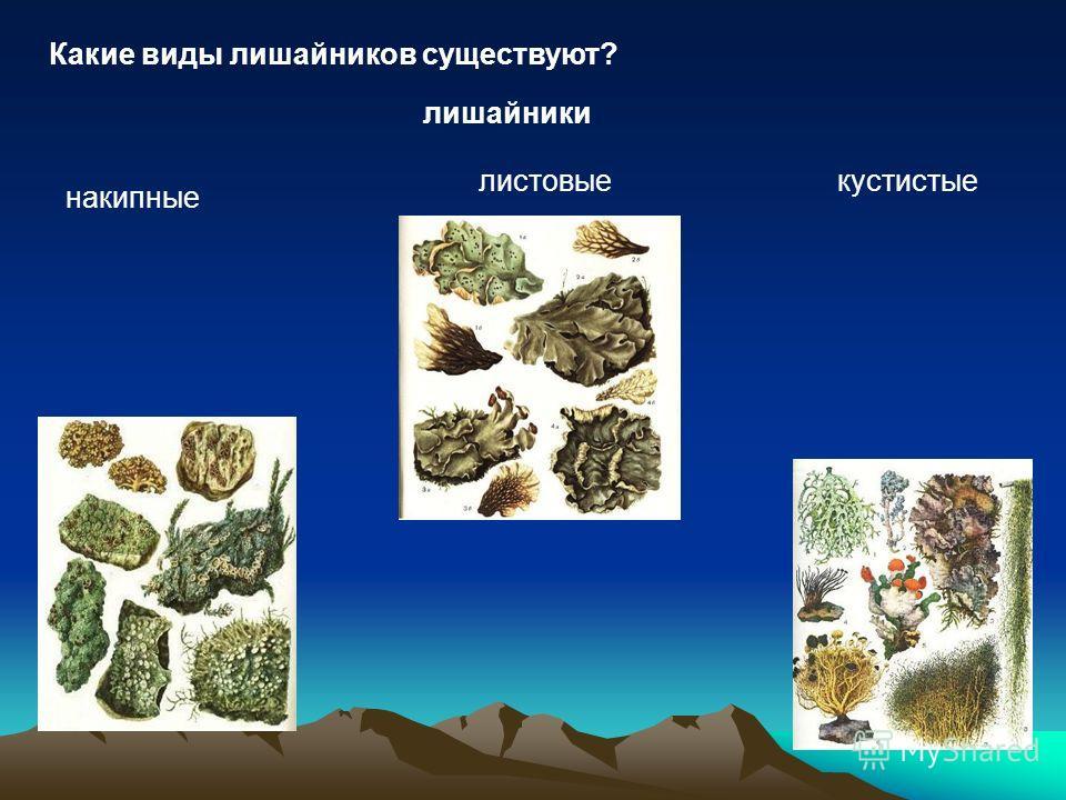 Какие виды лишайников существуют? лишайники накипные листовыекустистые