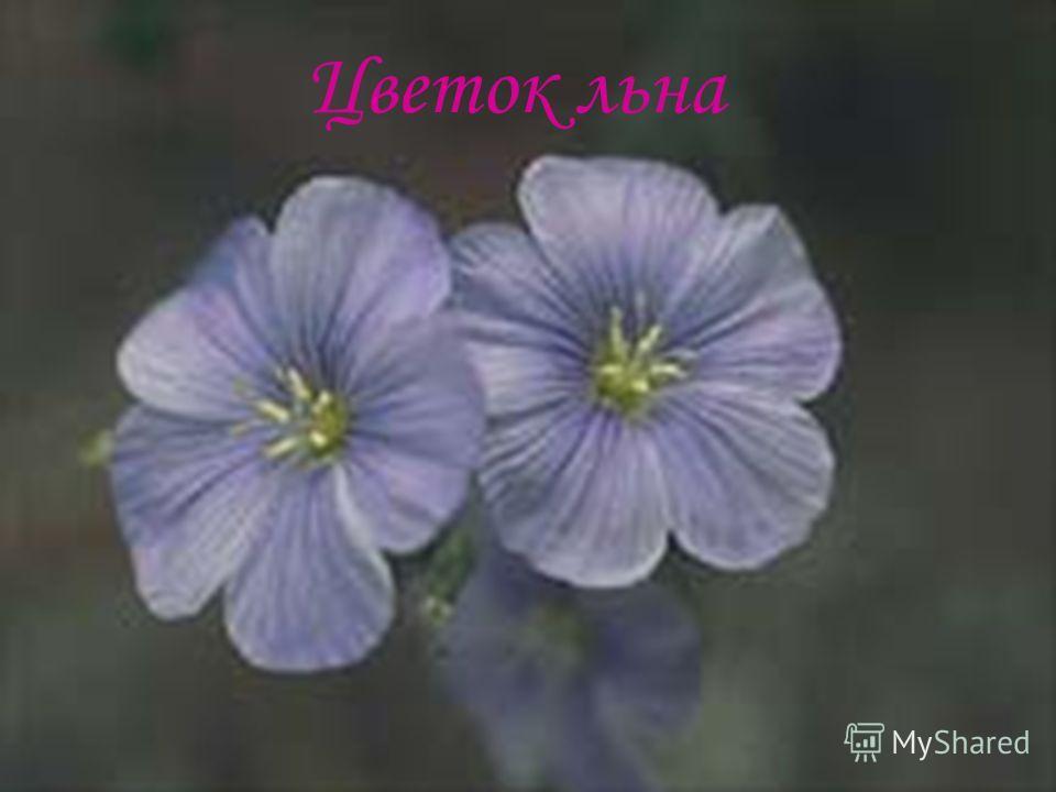 Цветок льна