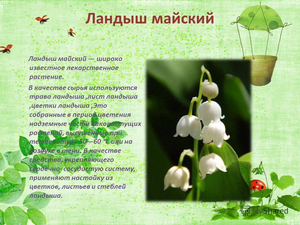 Ландыш майский Ландыш майский широко известное лекарственное растение. В качестве сырья используются трава ландыша,лист ландыша,цветки ландыша,Это собранные в период цветения надземные части дикорастущих растений, высушенные при температуре 5060 °C и