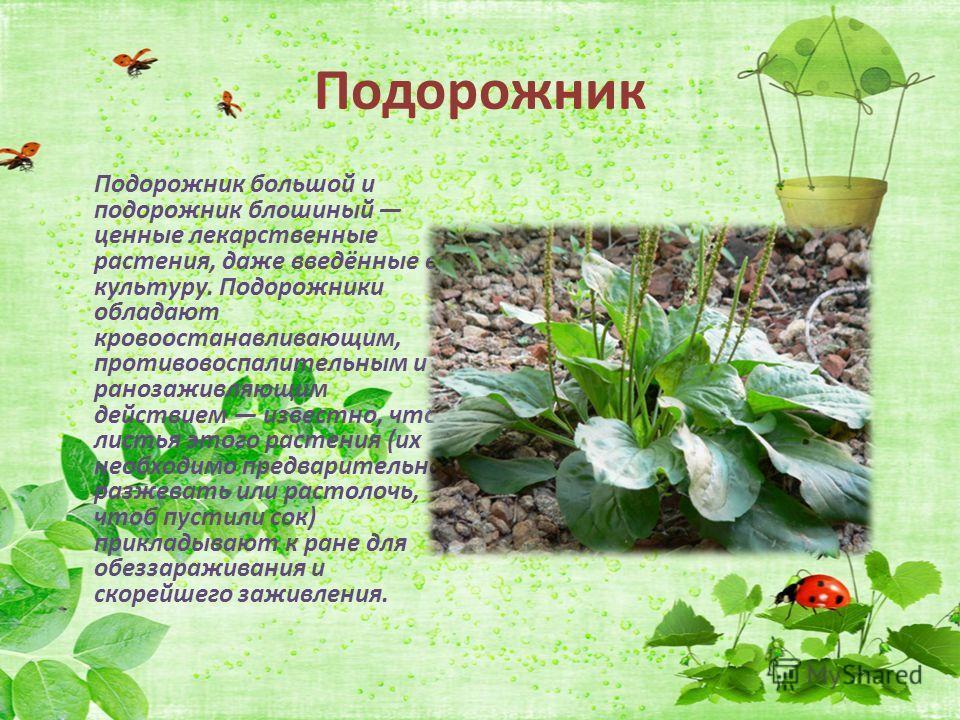 Лекарственные растения моего края