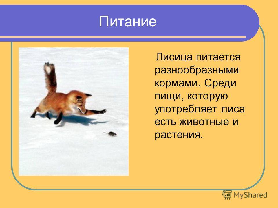 Питание Лисица питается разнообразными кормами. Среди пищи, которую употребляет лиса есть животные и растения.